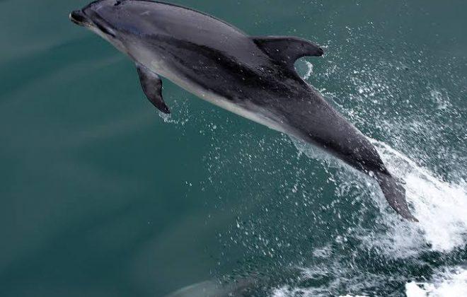 Kisah Anak 10 Tahun Digigit dan Diseret Lumba-lumba